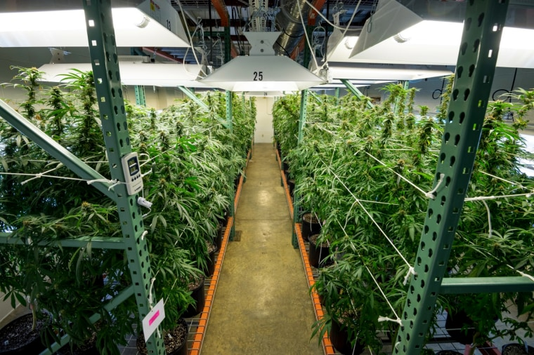 Image; Indoor cultivation of marijuana at the University of Mississippi.