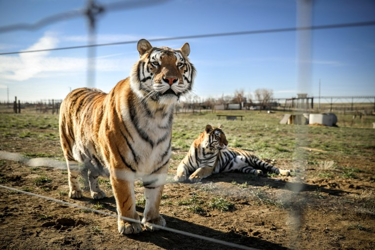 "Image: BESTPIX - Wild Animal Sanctuary In Colorado Home To Almost 40 Tigers From Wildly Popular Documentary Of Joe Exotic ""Tiger King\"""