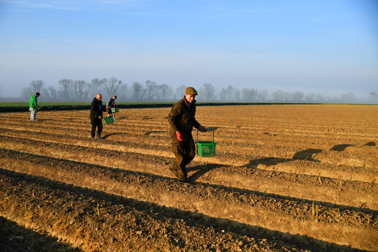Image: Local residents pick asparagus as they work at Dyas Farms in Sevenscore