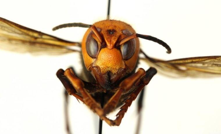 Image: Asian giant hornet