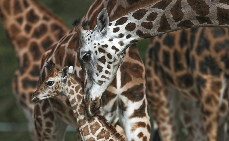 A Rothschild's giraffe with its mother Orla, takes its first steps outside at Chester Zoo in Cheshire, England.