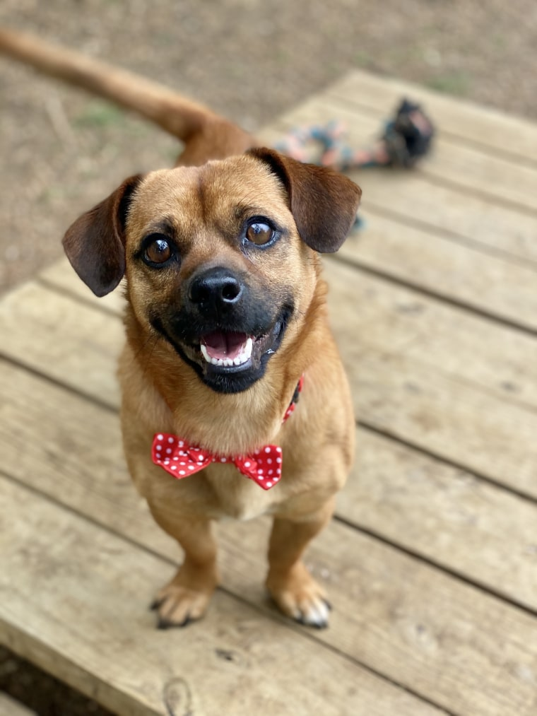 A dog wearing a bow tie smiles at the camera.