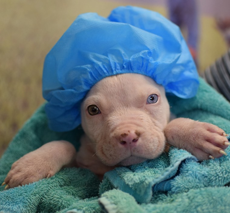 A pit bull wears a shower cap after a bath at a shelter.