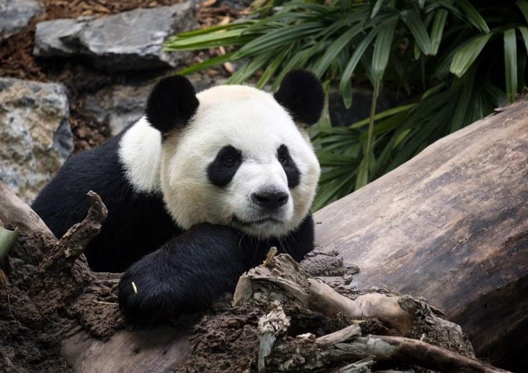 Image: Calgary Zoo Panda