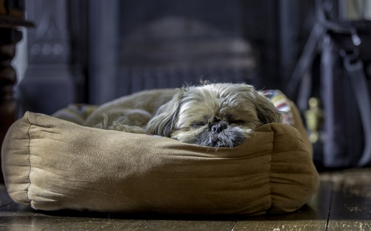 Image: Tired little shih tzu after a day on the beach.