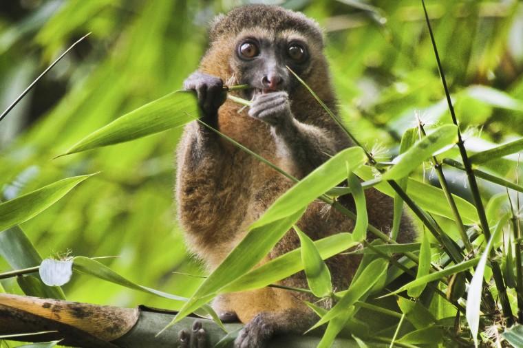 Image: A golden bamboo lemur in Madagascar.