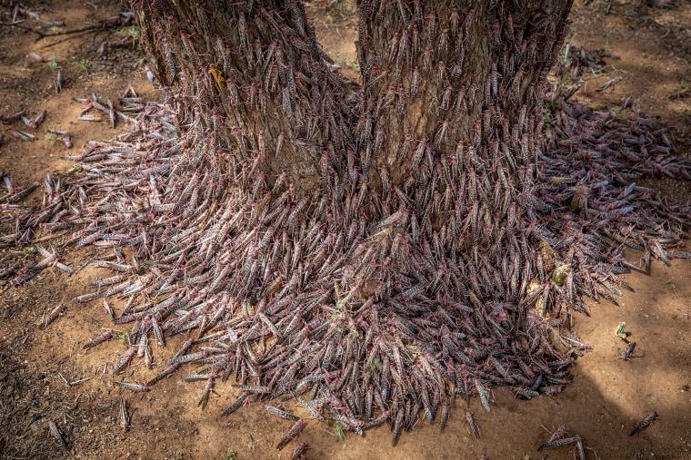 Image: Desert locusts in Kenya
