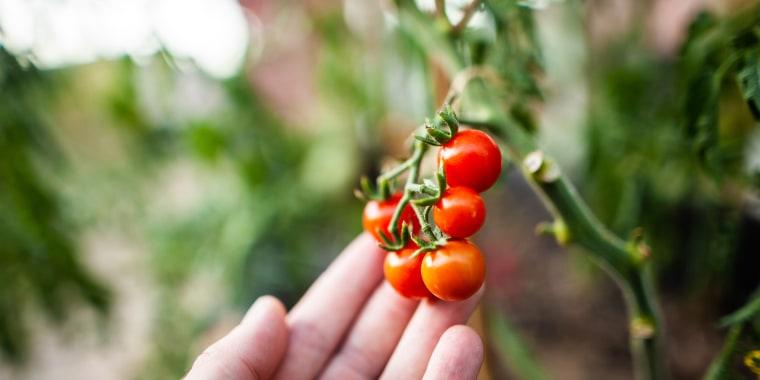 Jardinage - Cueillir une tomate cerise