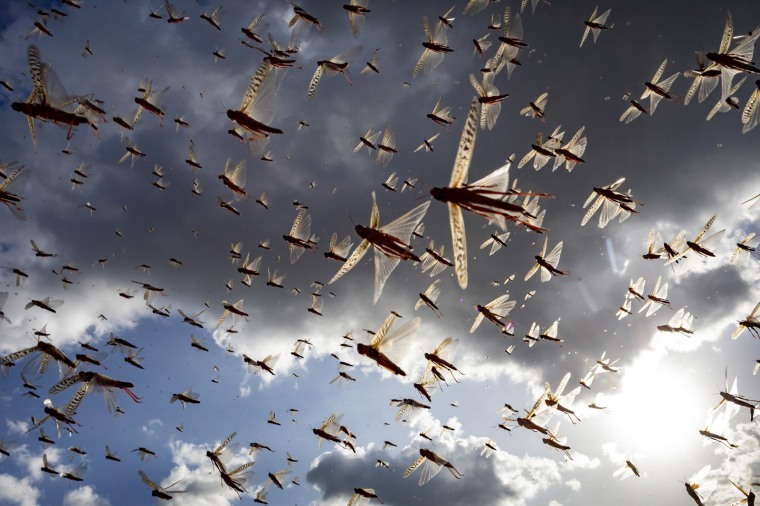 Image: A desert locust swarm flies in Kipsing, Kenya on March 31, 2020.