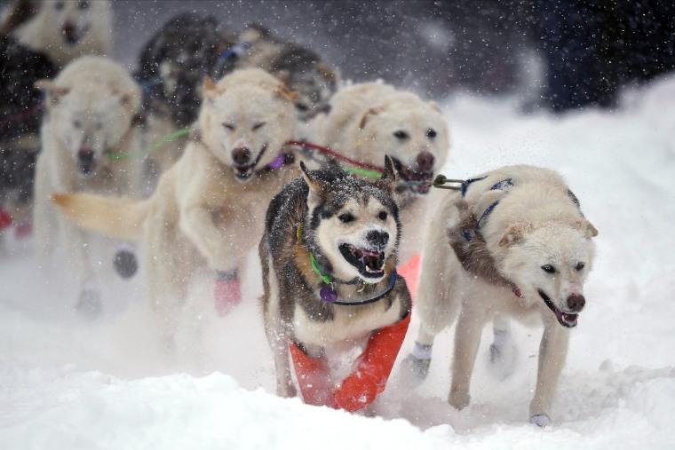 Image: Sled Dog