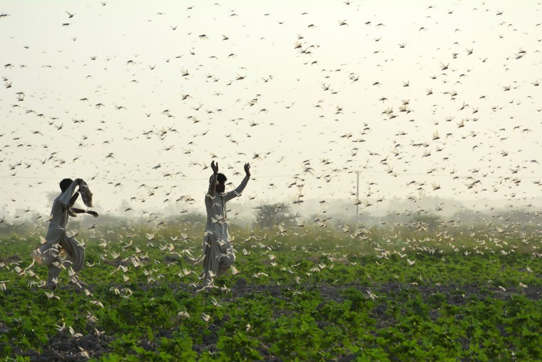 Image: TOPSHOT-PAKISTAN-AGRICULTURE-LOCUSTS
