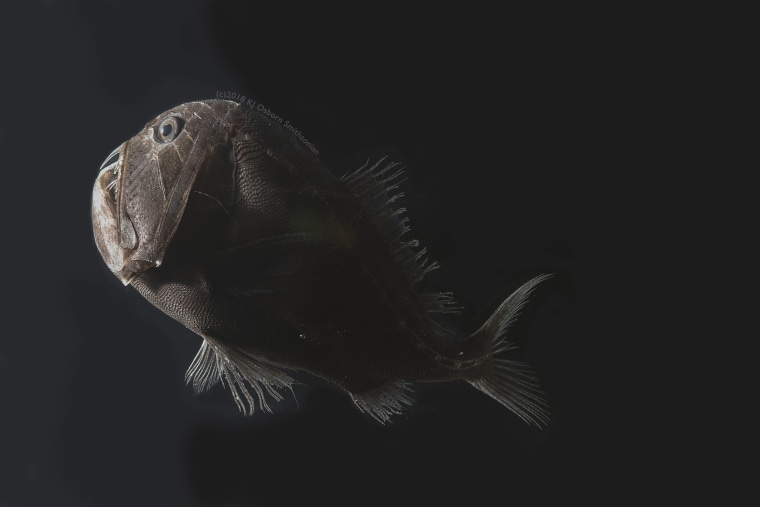 Image: Ultra-black fish