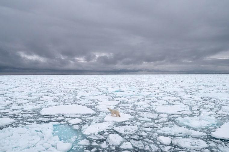 Image: A polar bear on sea ice in Svalbard, Norway,