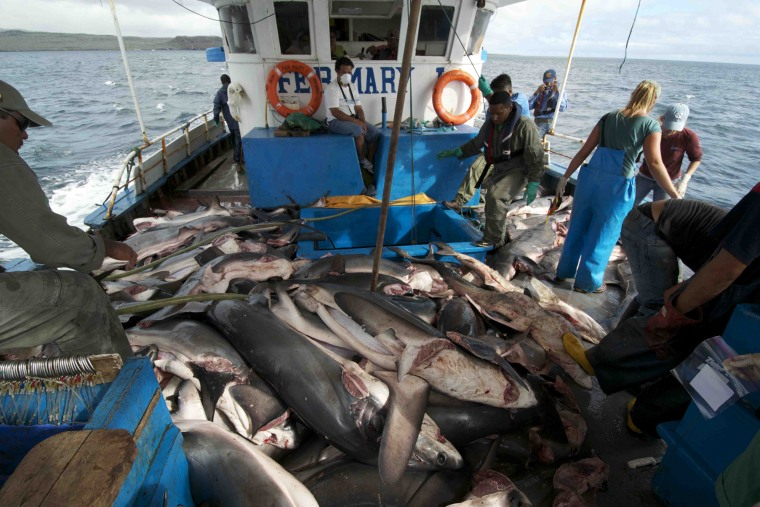 Hundreds of illegally caught sharks are returned to the sea off the Galapagos Islands on July 23, 2011.