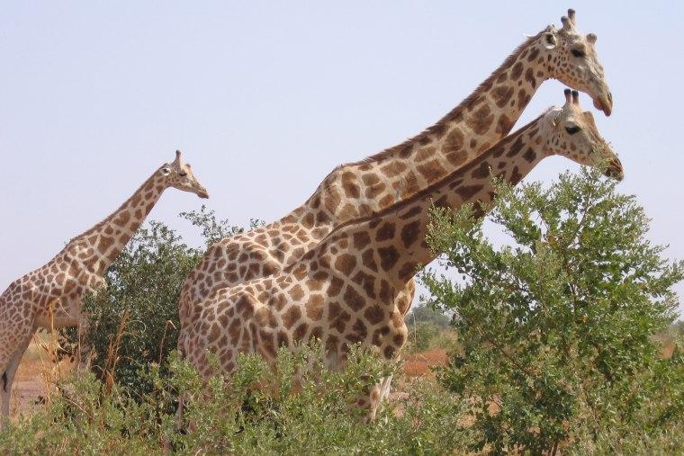 Giraffes walk in the bush in Koure near Niamey, Niger, on Aug. 14, 2010.