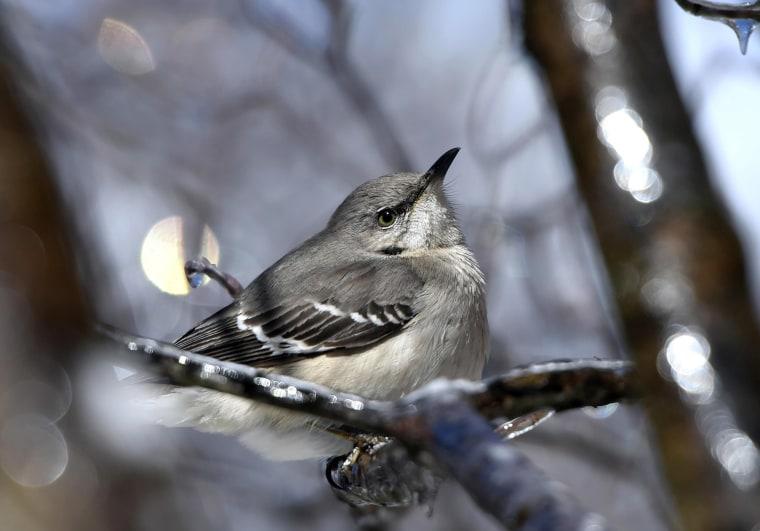 Image: Northern Mockingbird