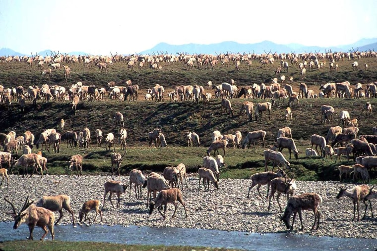 Caribou from the Porcupine Caribou Herd migrate onto the coastal plain of the Arctic National Wildlife Refuge in northeast Alaska in this undated photograph.