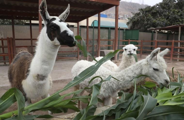 Image: Llama antibodies COVID