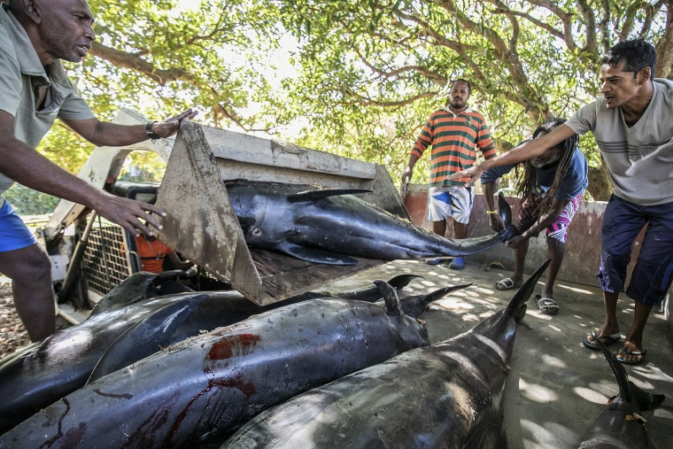 Image: Carcasses of Melon-headed whales (Peponocephala electra) also known as Electra dolphins are loaded into a truck after washing up in Grand Sable, Mauritius