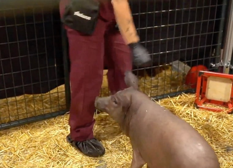 Gertrude the pig implanted with a Neuralink device during a presentation on Friday.