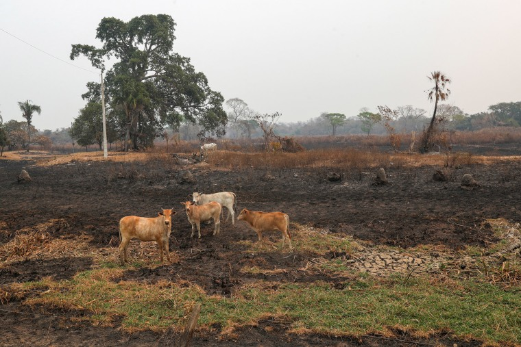 Image: Cattle near a burnt area at Pantanal, in Pocone, Mato Grosso state, Brazil