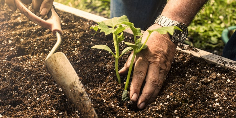 Close up of a man using a trowel to plant a small cucumber plant