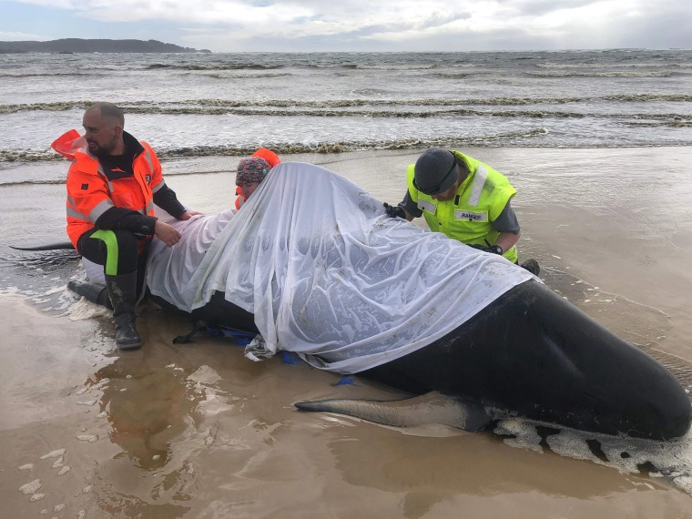 Image: People helping a whale in Macquarie Harbour on the rugged west coast of Tasmania, as hundreds of pilot whales have died in a mass stranding in southern Australia despite efforts to save them, with rescuers racing to free a few dozen survivors