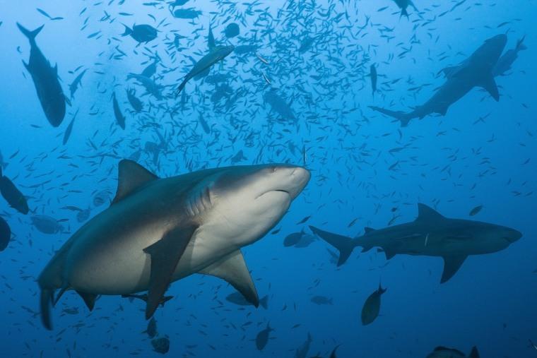 Image: Bull sharks.