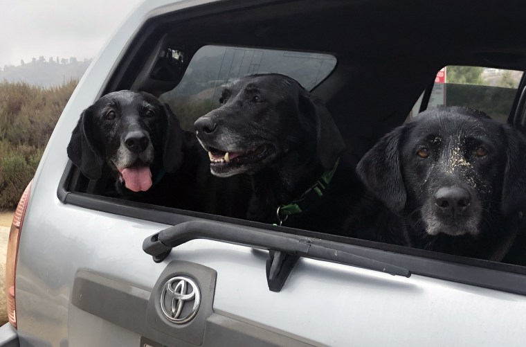 Three black Labrador retrievers smile from the back of a car.