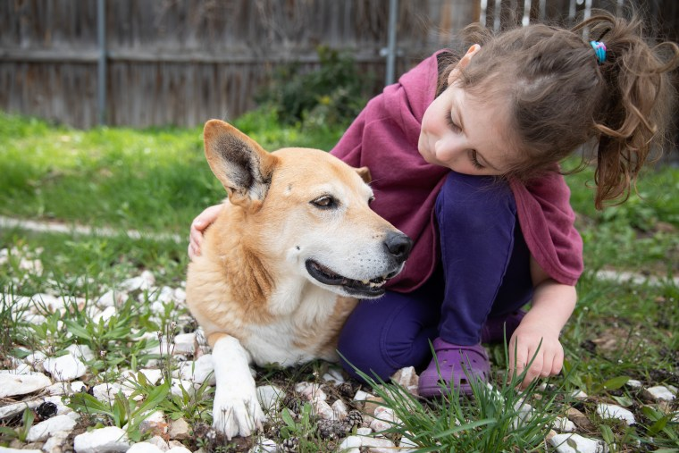 A child pets a senior corgi.