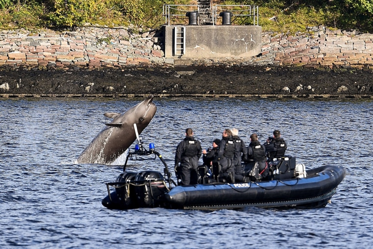 Image: Police from Faslane watch one of the three Northern Bottlenose whales swimming near Garelochhead, Argyll and Bute, Scotland o