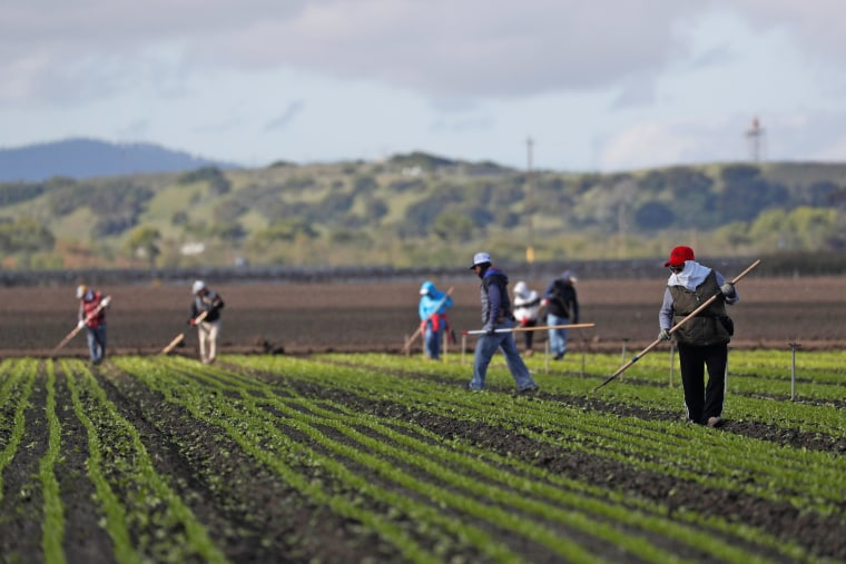Migrant workers clean fields in the Salinas Valley in California on March 30, 2020.