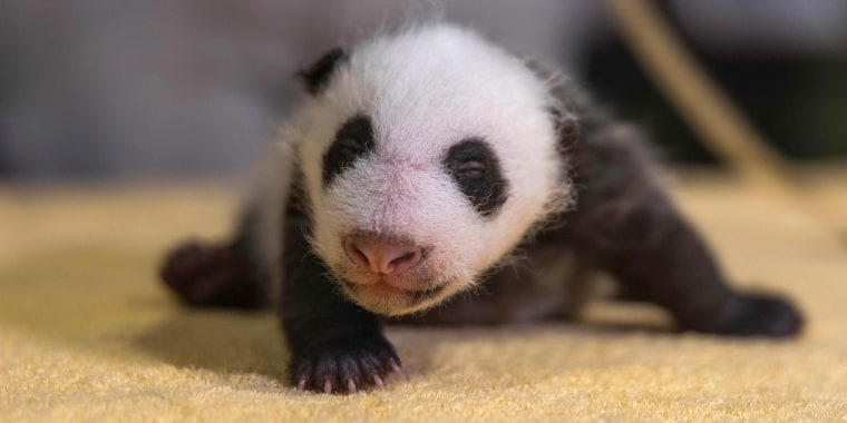 The panda cub born at the National Zoo in August is a boy, the zoo confirmed Monday.