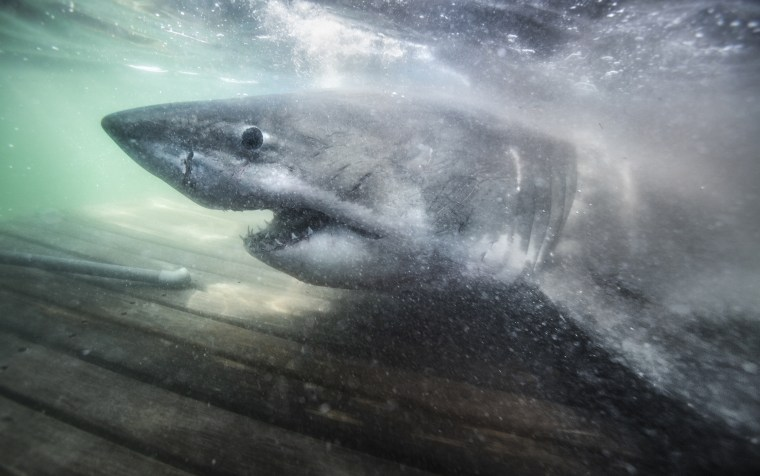 Nukumi is the largest great white shark the U.S. research team Ocearch has tagged in its northwest Atlantic white shark study to date.