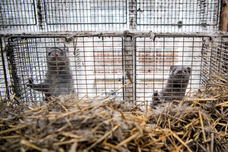 Image: Minks in their cages at a fur farm on May 1, 2019 in Brumunddal, Norway.