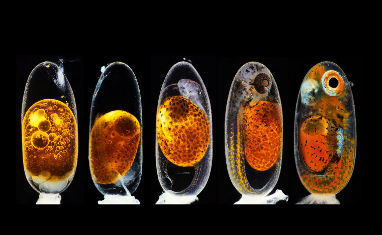 Embryonic development of a clownfish (Amphiprion percula) on days 1, 3 (morning and evening), 5, and 9.