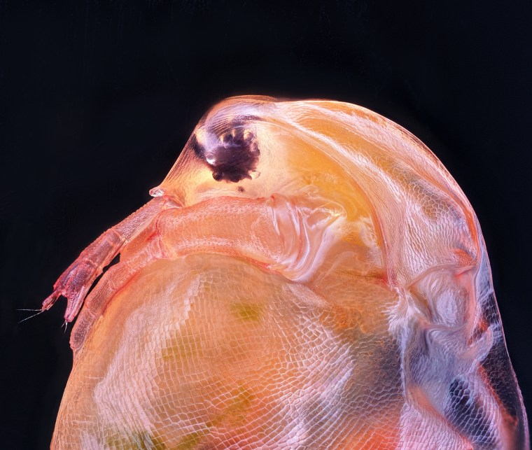 Daphnia magna, a small planktonic crustacean that belongs to the subclass Phyllopoda.