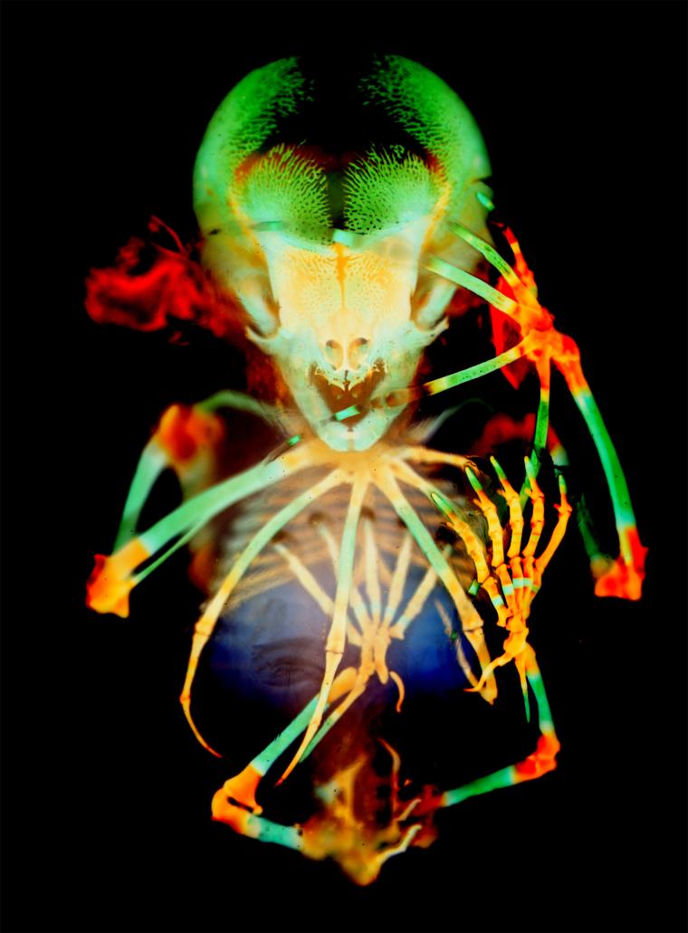 Skeleton preparation of a short-tailed fruit bat embryo.