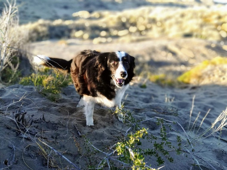 The study participants included 37 border collies.