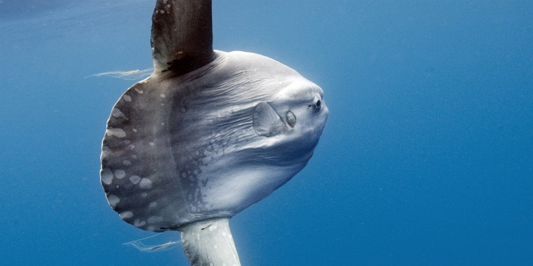 A deep water fish known as Mola mola swims to the surface of the ocean in San Diego.