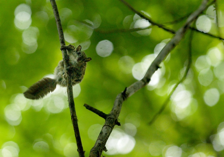 Image: Preparing for take-off after being released a Glaucomys sabrinus, Northern Flying Squirrel, readies to jump.