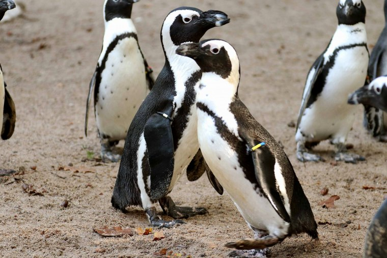 """The penguin-gay couple from DierenPark Amersfoort took a nest from a lesbian penguin couple this year. """"After obtaining an egg to hatch last year, they even managed to hijack an entire nest this year at an unguarded moment,"""" says zookeeper Sander Drost. """"So it turns out to be a very determined couple."""""""