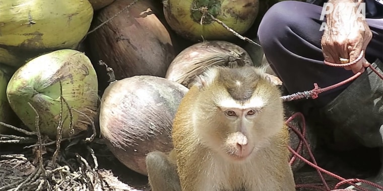 A PETA investigation found that monkeys were chained up and forced to do hard labor in the form of coconut picking.