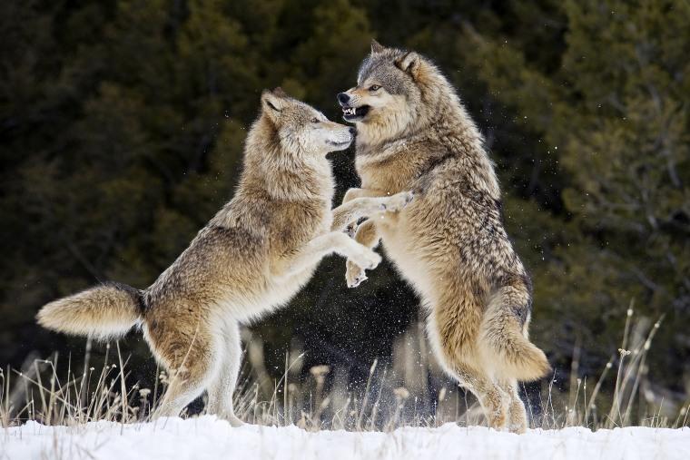Image: Grey Gray Wolfs