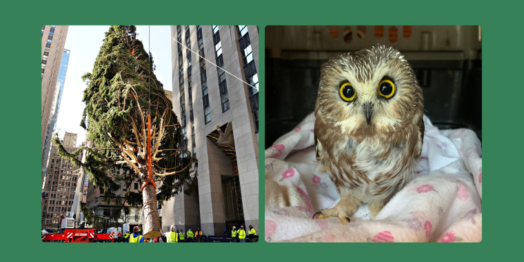 A tiny owl that was found after the Rockefeller Center Christmas tree was cut down in upstate New York, then trucked to New York City, is recovering at a wildlife rehabilitation facility.