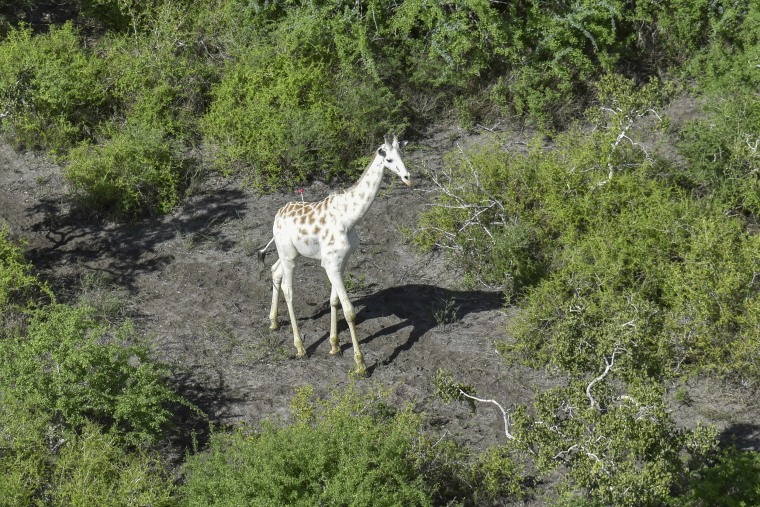 Image: A male giraffe with a rare genetic trait called leucism that causes a white color is darted with a tranquilizer in order to fit a GPS tracking device