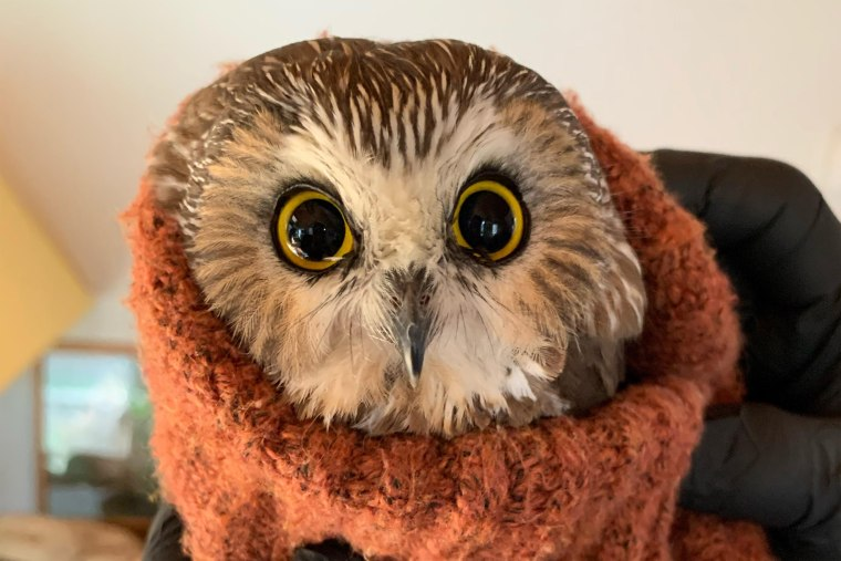 A Ravensbeard Wildlife Center worker swaddles a saw-whet owl, the smallest owl in the northeast, that was rescued from the tree that would become the Rockefeller Center Christmas Tree.