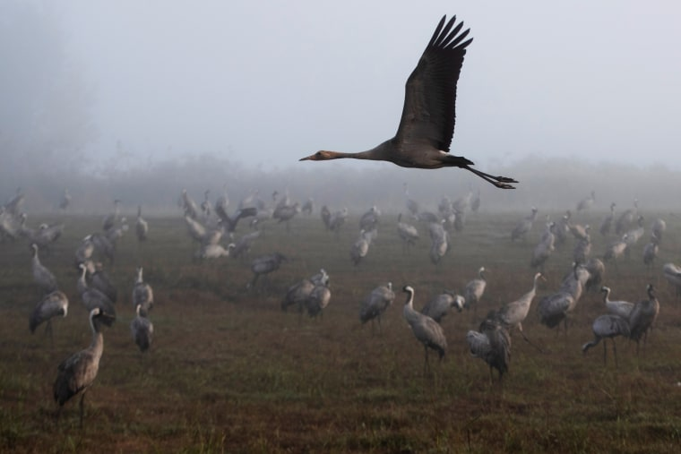 Image: A cranes flies as others gather during the migration season on a foggy morning at Hula Nature Reserve, in northern Israel
