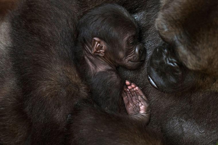 Image: Gorillas
