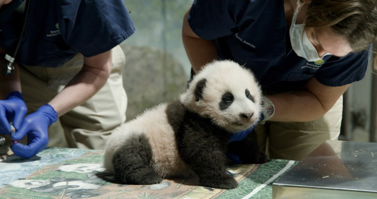 Image:After five days of voting and just under 135,000 votes, the panda cub at the Smithsonians National Zoo, is now named Xiao Qi Ji (SHIAU-chi-ji), which translates as little miracle in English
